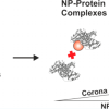 Size-Dependent Protein–Nanoparticle Interactions in Citrate-Stabilized Gold Nanoparticles: The Emergence of the Protein Corona. Published in Bioconjugate Chemistry